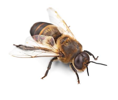 abejas: Abeja.