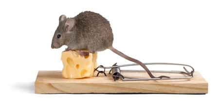 myszy: Ryzyko.