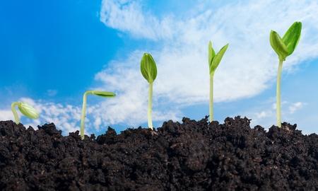germinación: Planta.