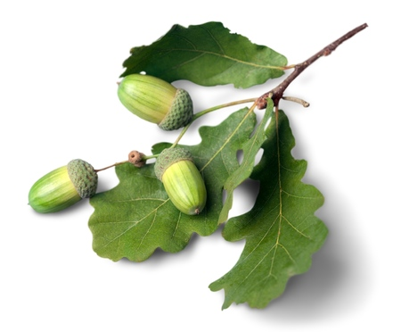 acorn: Oak. Stock Photo