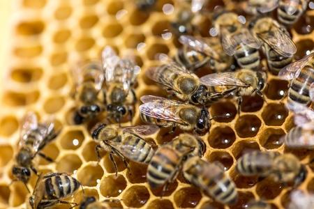 queen bee: Abeja.