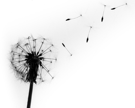 dandelion flower: Dandelion.