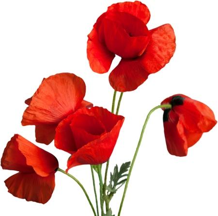 poppy flower: Poppy.