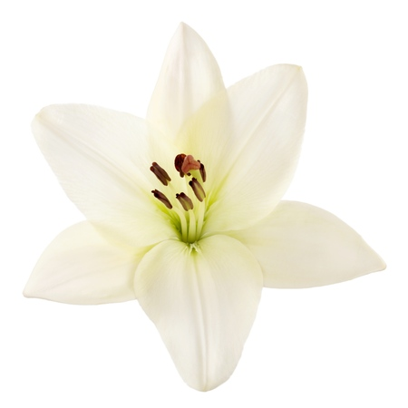 easter lily: Lily.