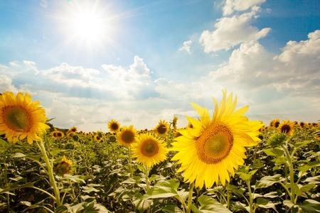 nature beauty: Sunflower. Stock Photo