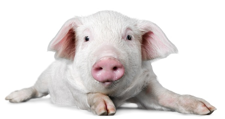 young pig: Farm. Stock Photo