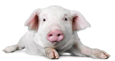 cerdos: Granja.