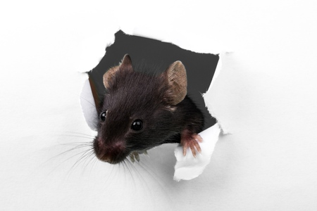 mouse hole: Rat. Stock Photo