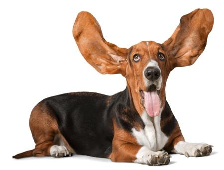 basset hound: Basset Hound. Stock Photo