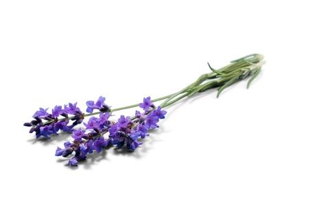 flor morada: Lavanda. Foto de archivo