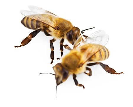 the bee: Abeja.