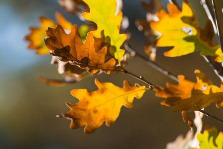 oak leaf: Oak Tree. Stock Photo