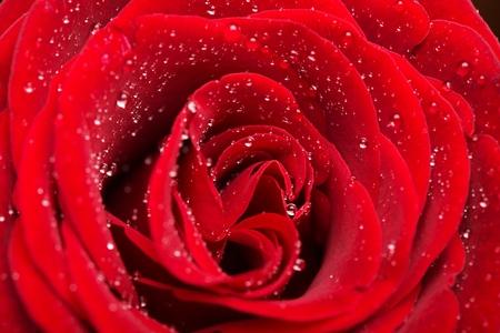 rosas rojas: Rose.  Foto de archivo