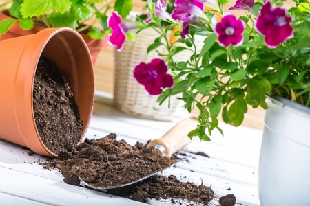 perennial: Gardening. Stock Photo