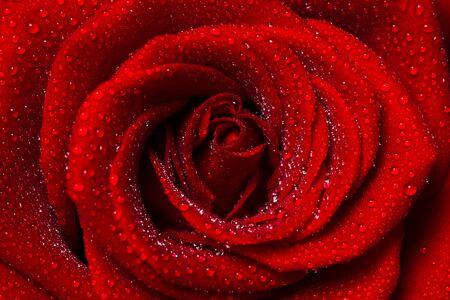 frescura: Rose.  Foto de archivo
