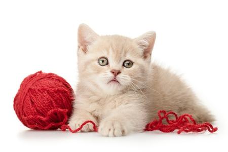 kitten: Domestic Cat.