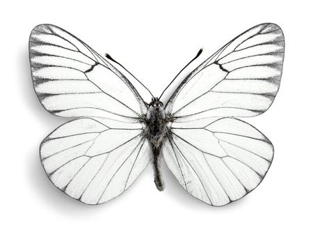 animal vein: Butterfly. Stock Photo