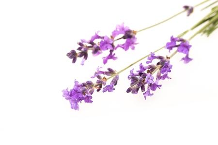 unpleasant smell: Lavender. Stock Photo