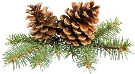 Pine Cone. 写真素材