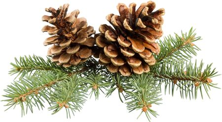 Cone Pine.