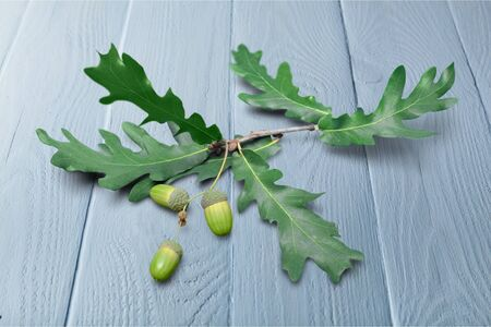 reproduce: Oak. Stock Photo