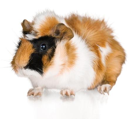 guinea: Guinea Pig. Stock Photo