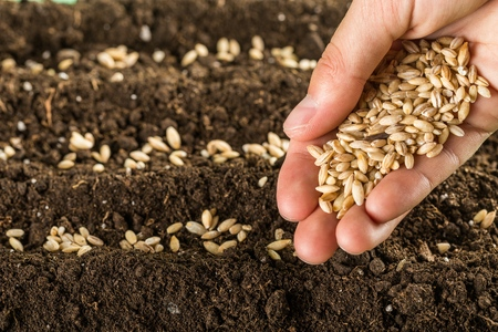 sowing: Seed. Stock Photo