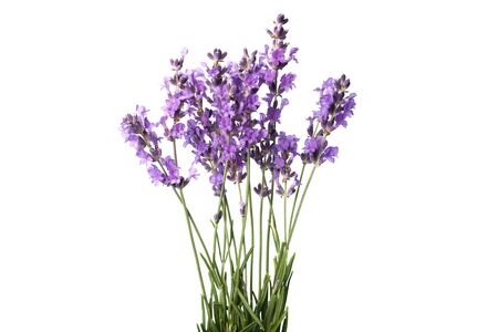 isolated flower: Lavender. Stock Photo