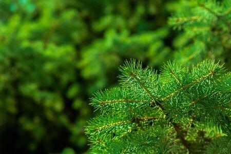 fir: Fir Tree.