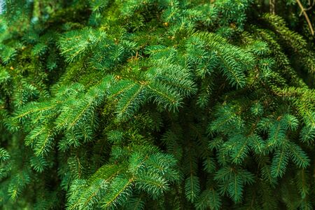 fir tree: Fir Tree.