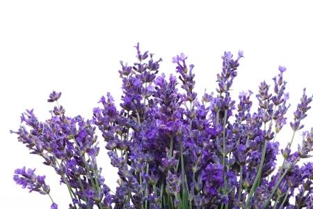 Lavendel. Stockfoto