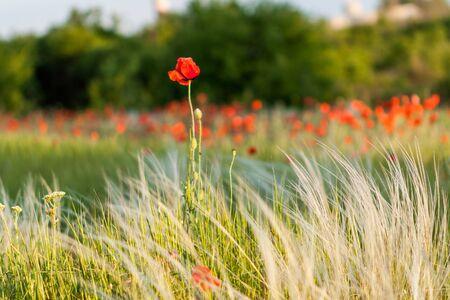 field of corn poppy flowers: Poppy.