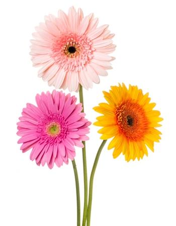 gerbera daisy: Gerbera Daisy.