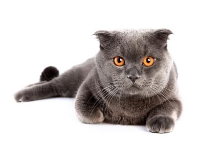 domestic: Domestic Cat.
