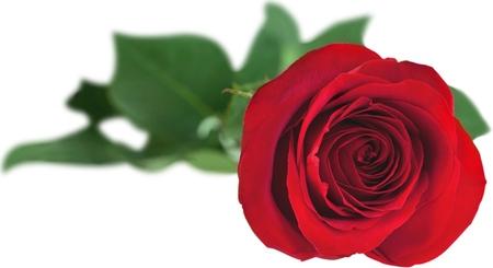 fragility: Rose.