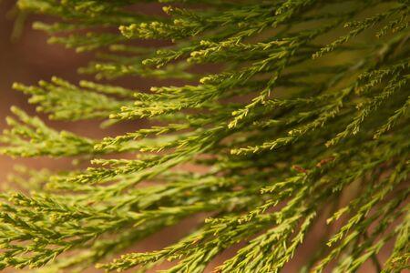 evergreen tree: Evergreen Tree.