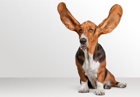 big ear: Dog.