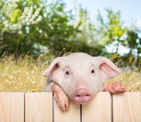 snouts: Pig.