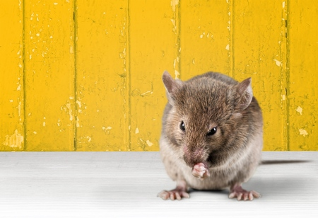 vertebrate animal: Mouse.