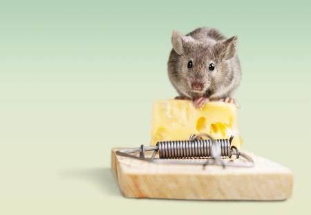 Mouse eating cheese of the trap.