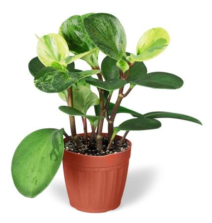arum: Plant.