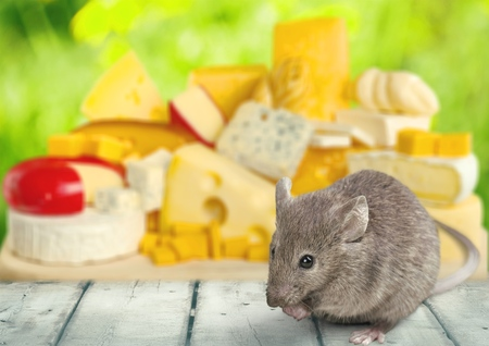 Mouse on cheese background. Stock Photo