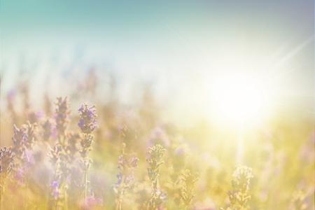 Violet lavender field, close-up view