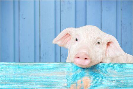 Lustiges Schwein, das an einem Zaun hängt. Studio Foto. Getrennt auf weißem Hintergrund. Standard-Bild - 90950397