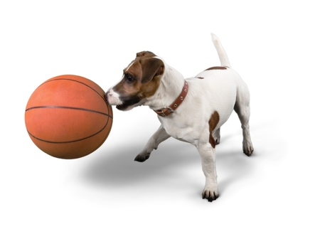 Jack Russell Terrier Playing with Basketball Ball