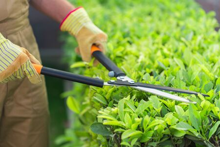 Closeup of a Gardener Using a Manual Hedge Trimmer