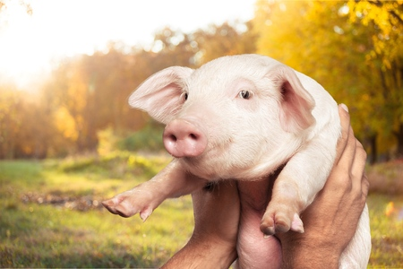 White piglet in girls hands in sky Stock fotó