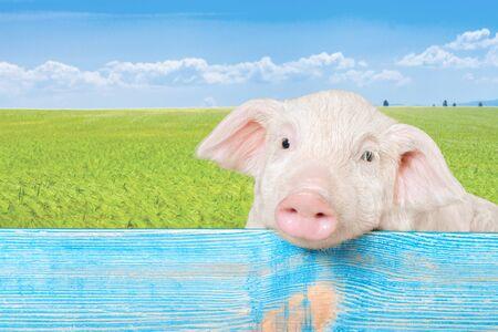 재미 있은 돼지 울타리에 매달려. 스튜디오 사진. 흰색 배경에 고립.