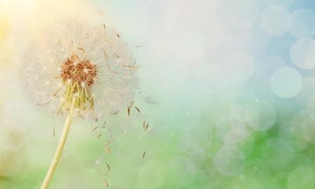 日光の中のタンポポの種子 写真素材