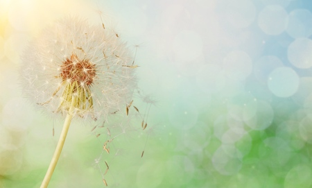 Dandelion seeds in sunlight Фото со стока